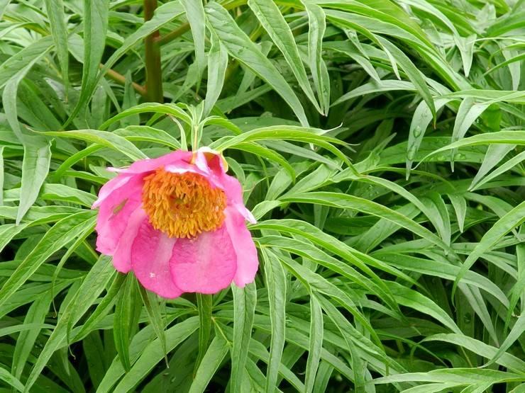 Марьин корень — лечебные свойства и противопоказания
