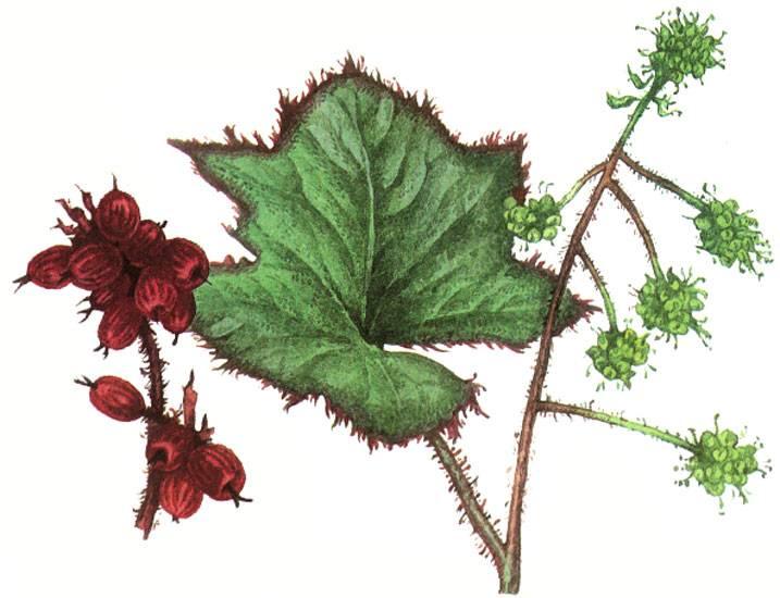 Заманиха: что заманчивого в этом растении?