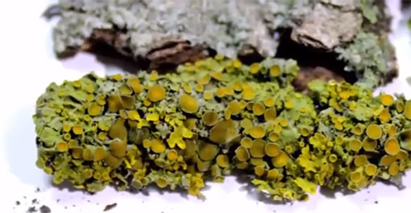 Пармелия: ботаническая характеристика, химический состав, лечебные свойства, применение