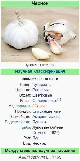 Чеснок: польза и вред. лечебные свойства чеснока. польза и вред чеснока для здоровья женщин и мужчин
