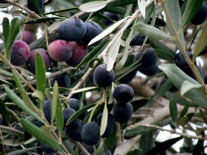Натуральные или крашенные: в чем разница между консервированными оливками и маслинами?