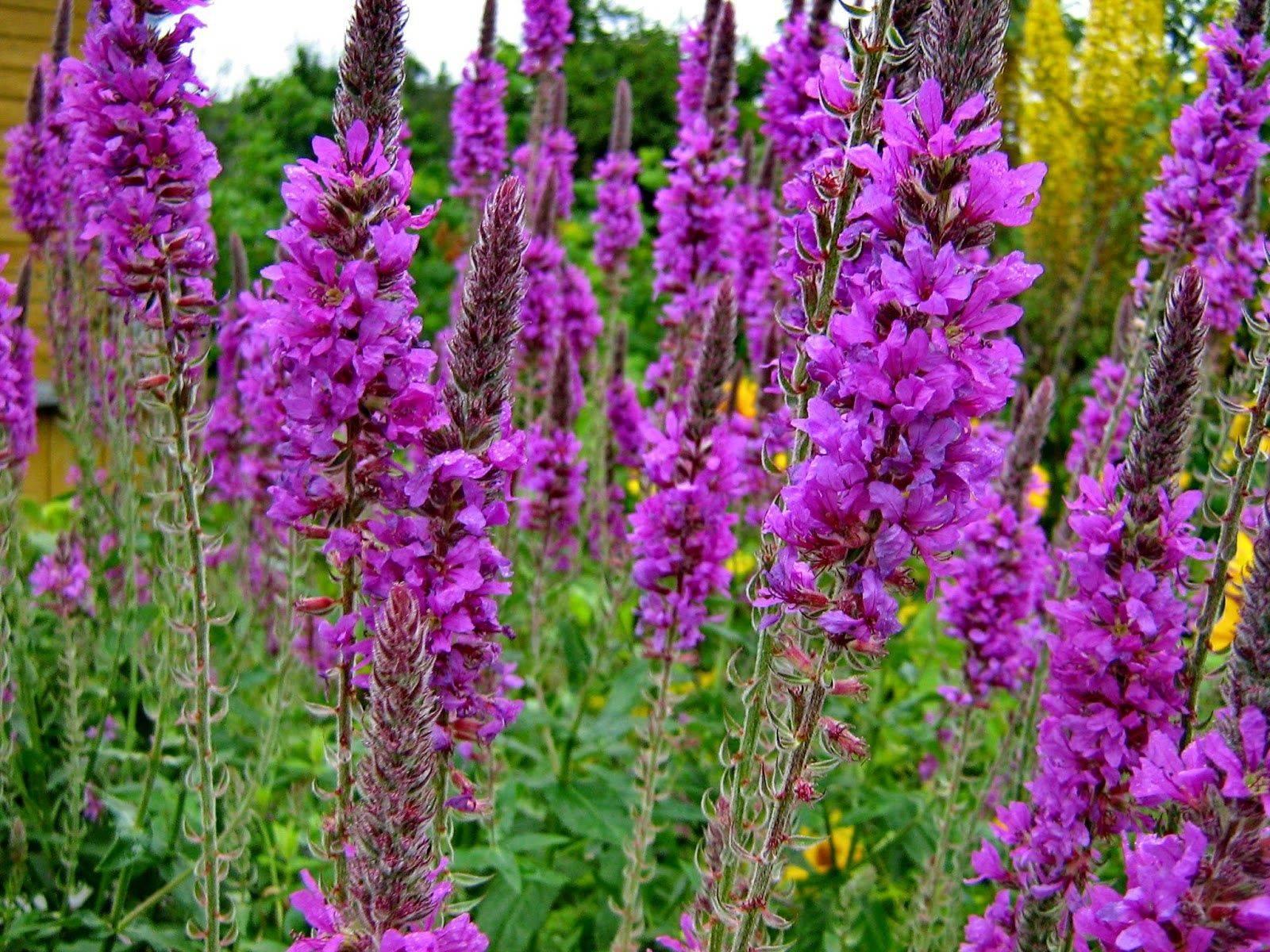 Дербенник иволистный: виды и сорта с фото и описанием, создание благоприятных условий для роста