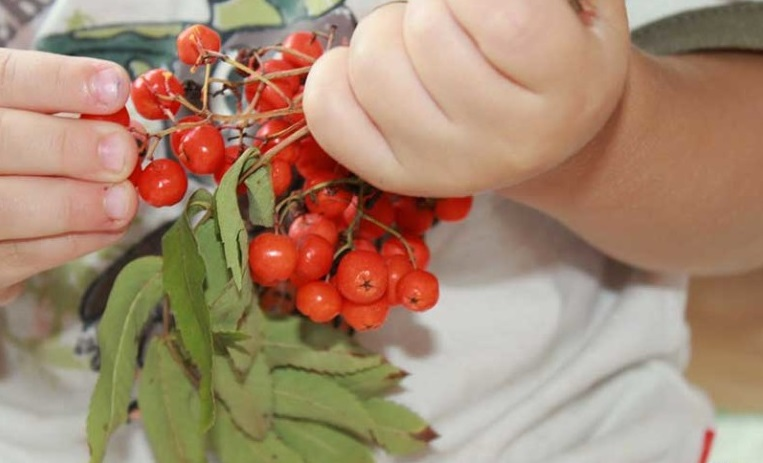 Красная рябина польза и вред для здоровья