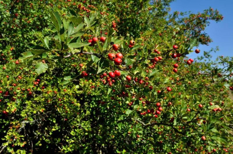 Боярышник – польза и вред для организма ягод и продуктов