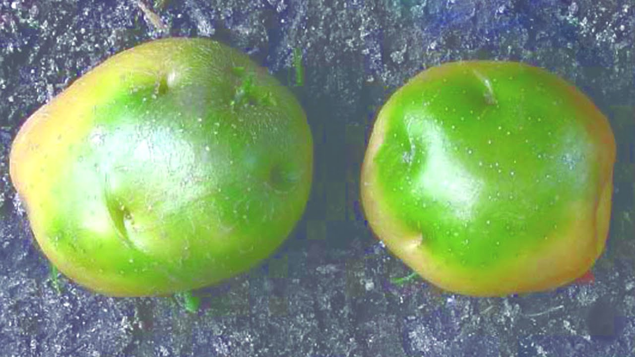 Почему картошка зеленеет и можно ли ее есть