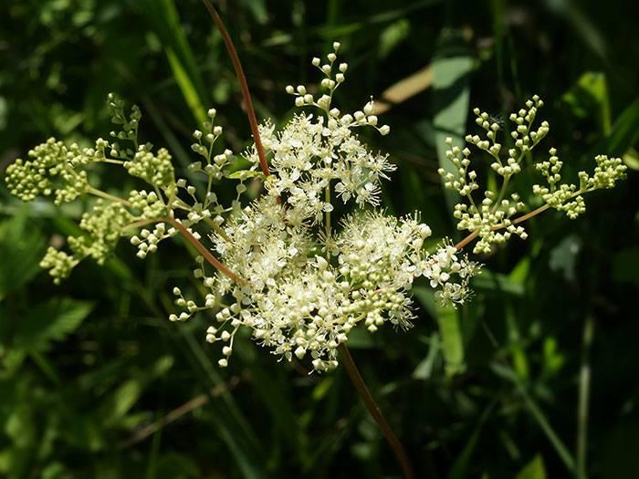 Лечебные свойства и противопоказания травы лабазник
