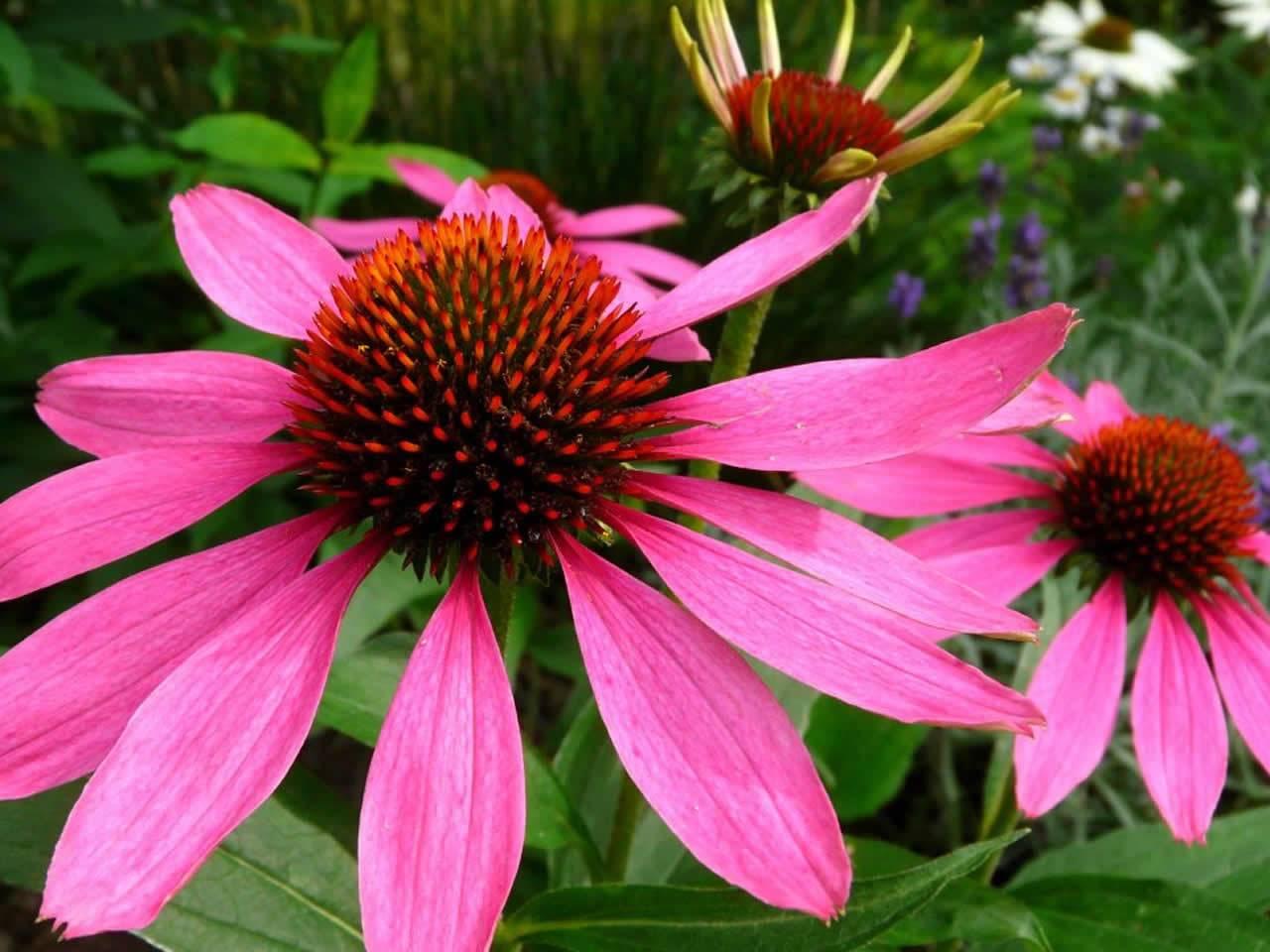 Эхинацея — лечебные свойства и противопоказания