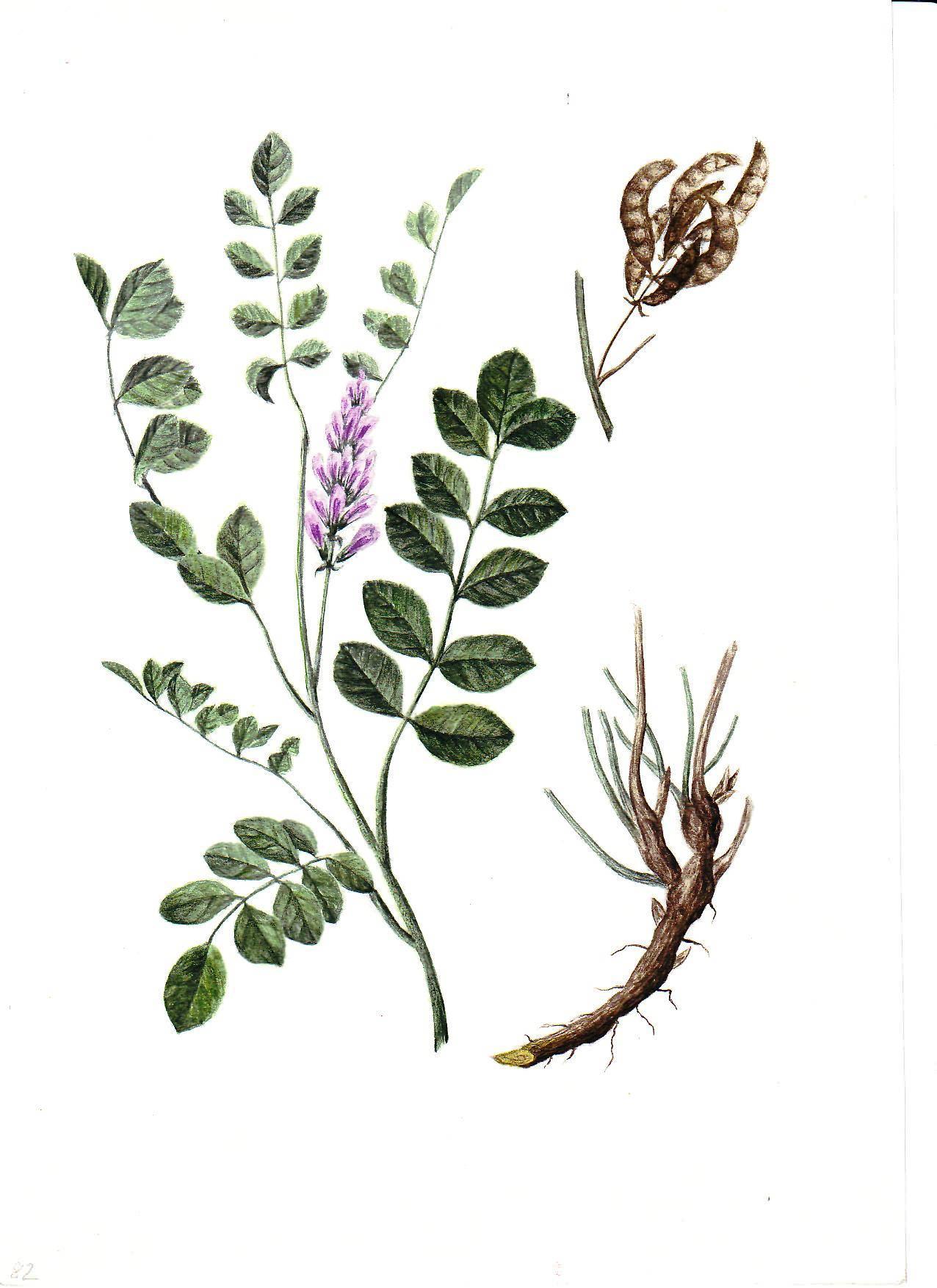 Солодка — лечебные свойства и противопоказания