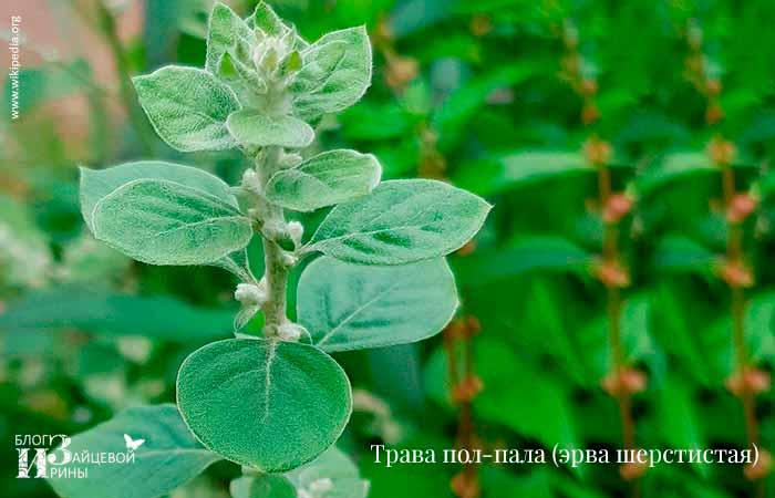 Трава пол-пала (эрва шерстистая) — лечебные свойства и применение