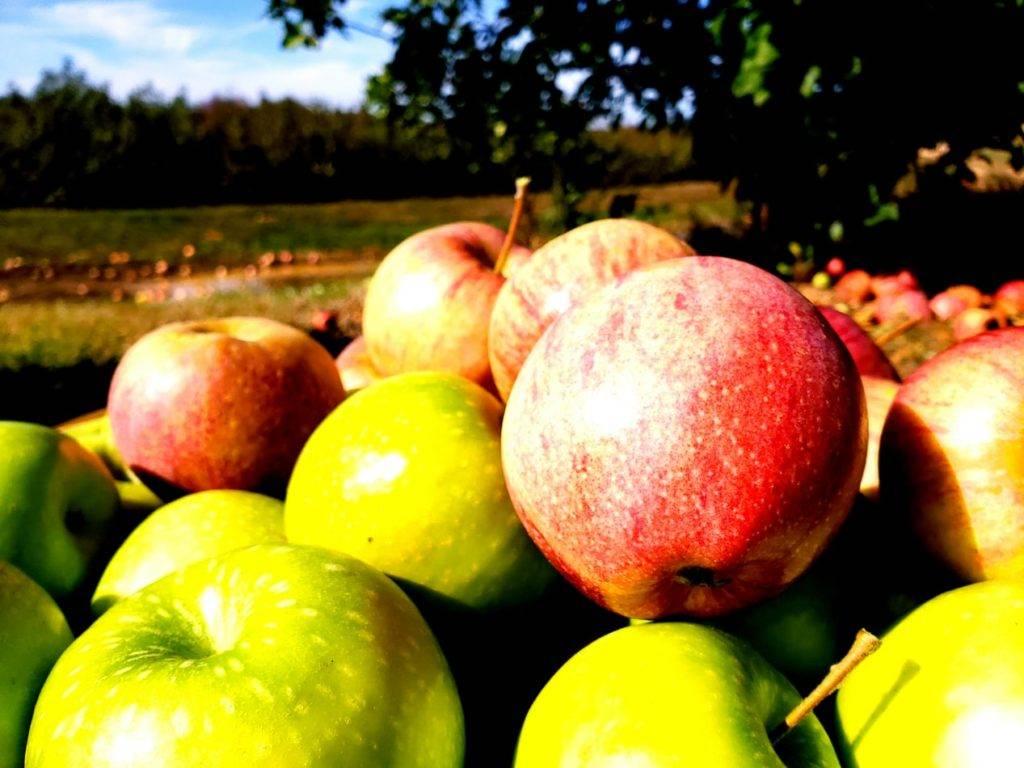 Яблочный сидр польза и вред для мужчин