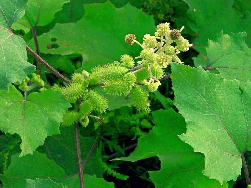 Лечебные свойства травы дурнишник