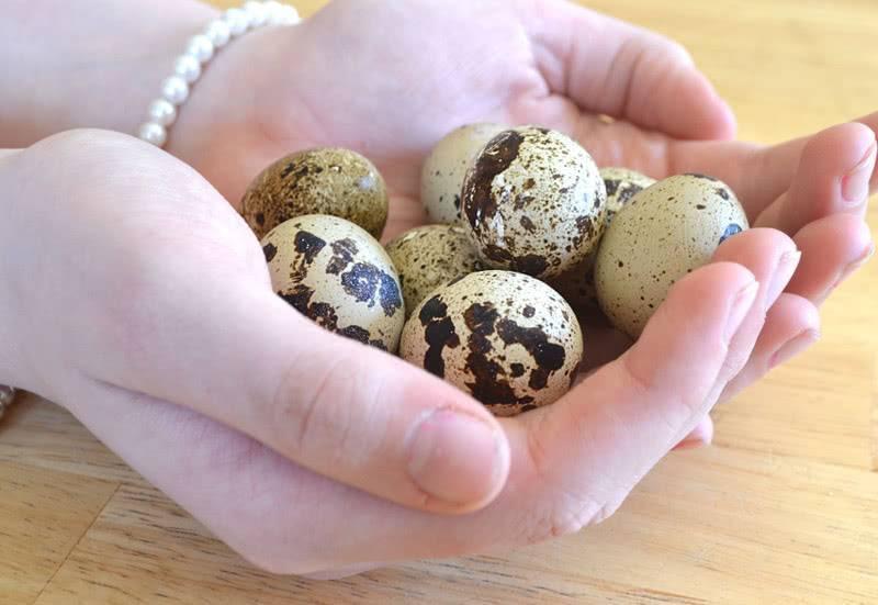 Польза и вред перепелиных яиц, значение в рационе женщины