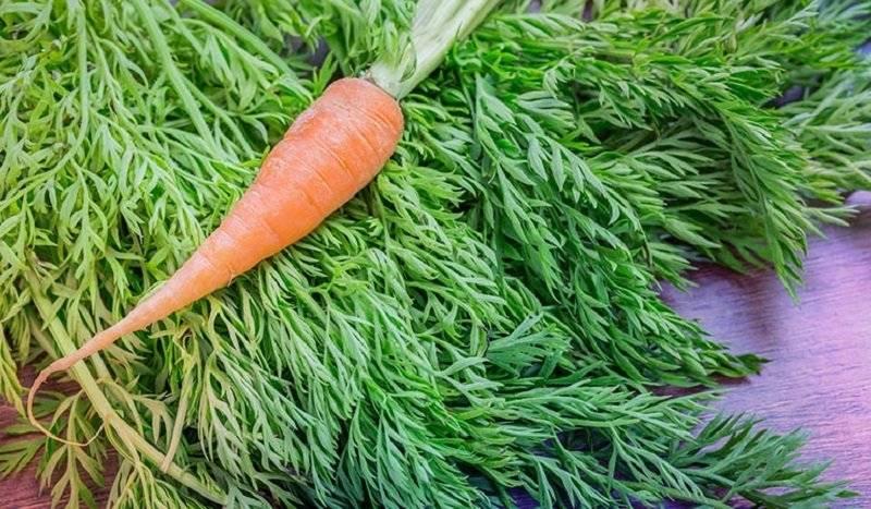 Морковная ботва: полезные свойства, противопоказания, применение