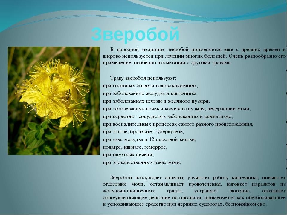 Способы применения травы зверобой, ее лечебные свойства и противопоказания