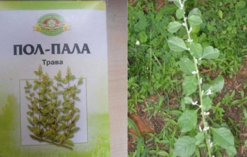 Эрва шерстистая трава: описание, полезные свойства
