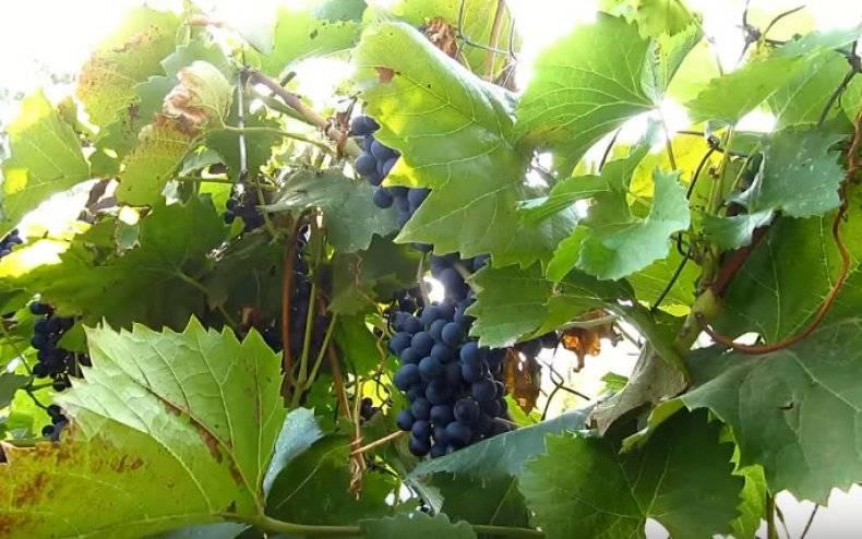 Листья винограда: полезные свойства и противопоказания для организма