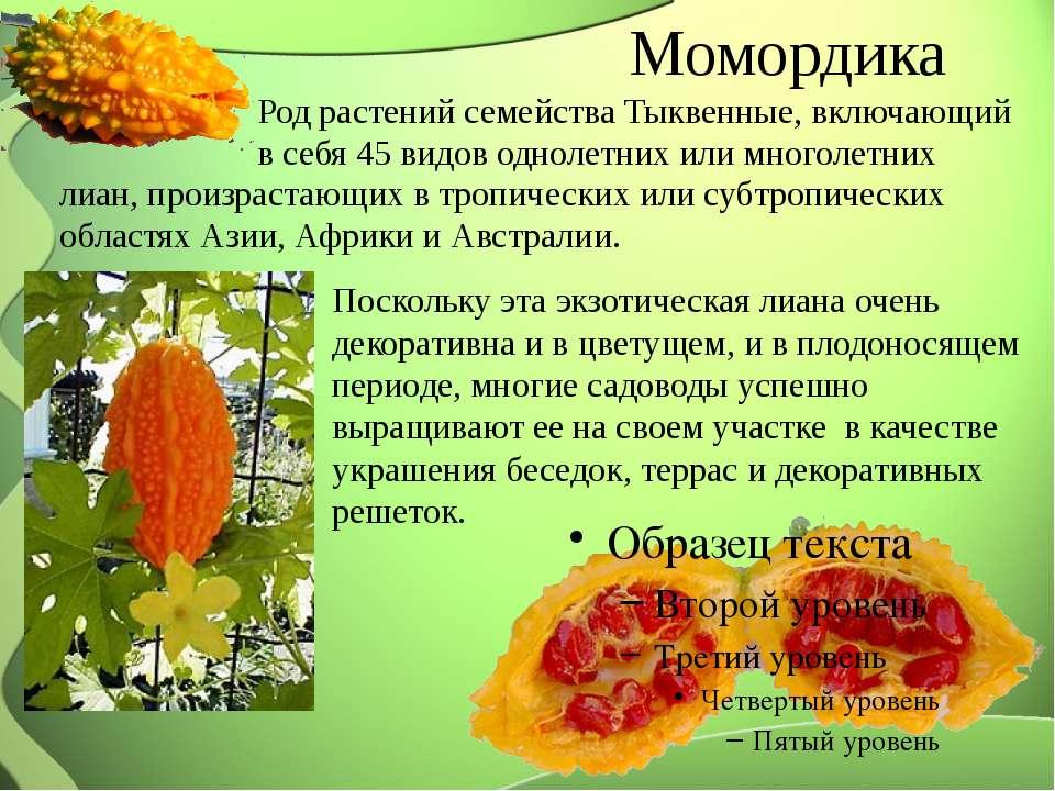 Момордика: лечебные свойства и противопоказания к применению растения