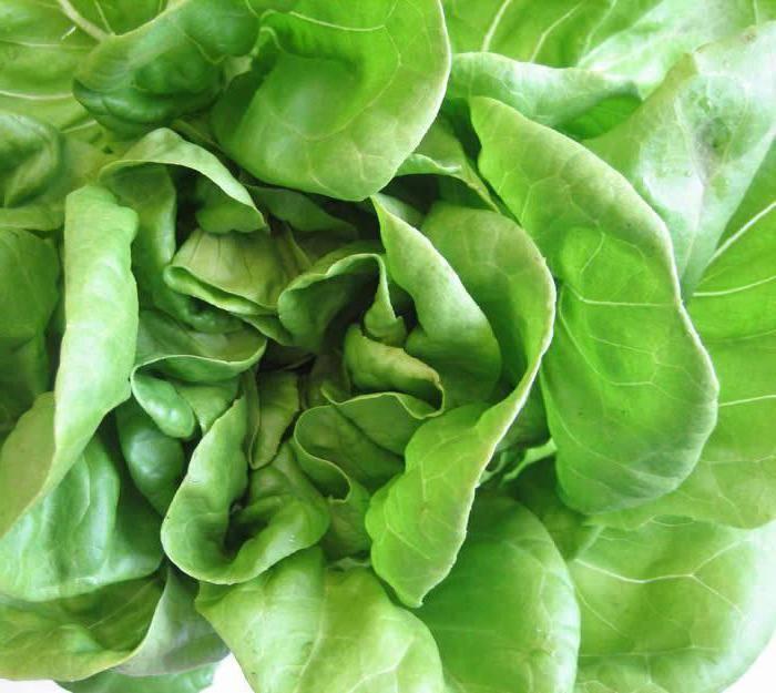 Листья салата: польза и вред для здоровья