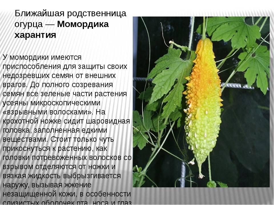 Растение момордика что это такое — лечение момордикой