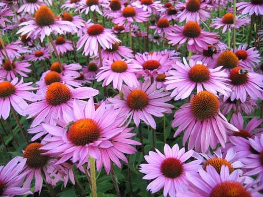 Полезные свойства эхинацеи пурпурной