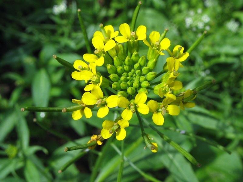 Лечебные свойства травы желтушник и его применение в народной медицине