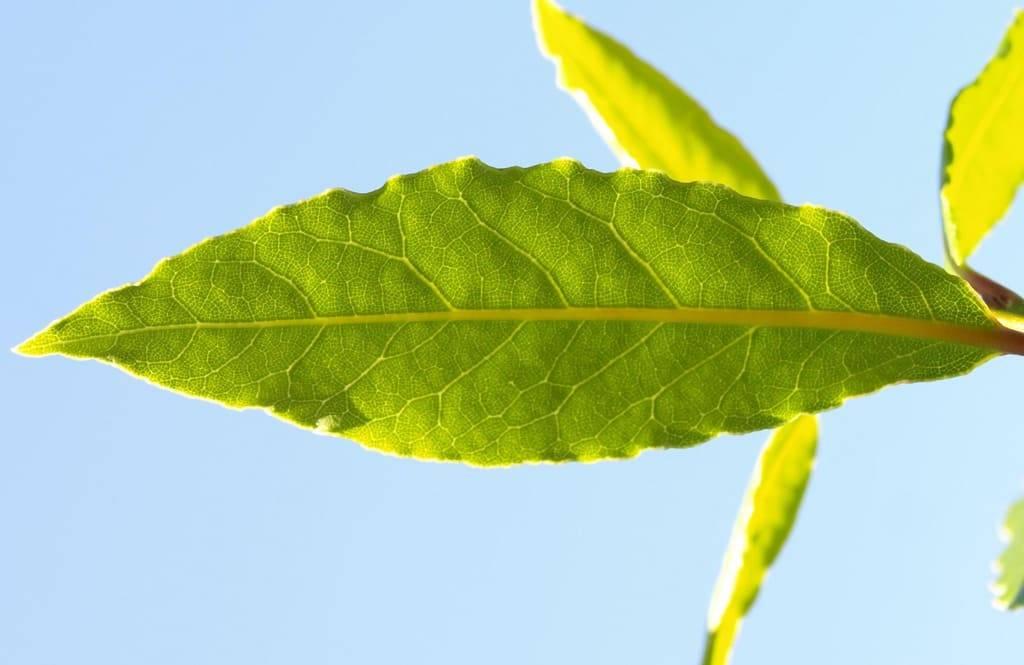 Как правильно сушить лавровый лист?