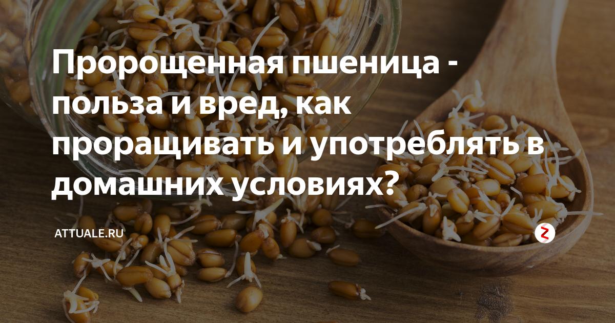 Пшеница пророщенная: польза и вред. пророщенная пшеница для похудения