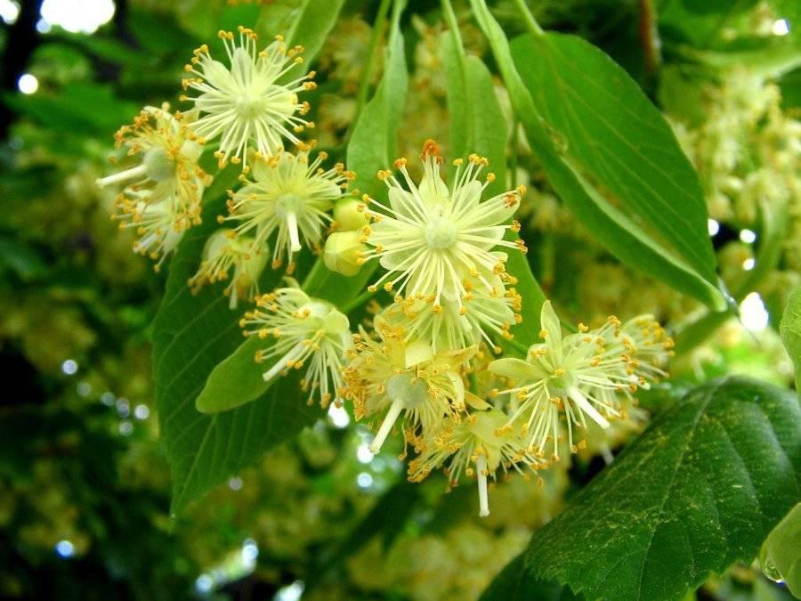 Чем полезны цветки липы — лечебные свойства и противопоказания липового цвета