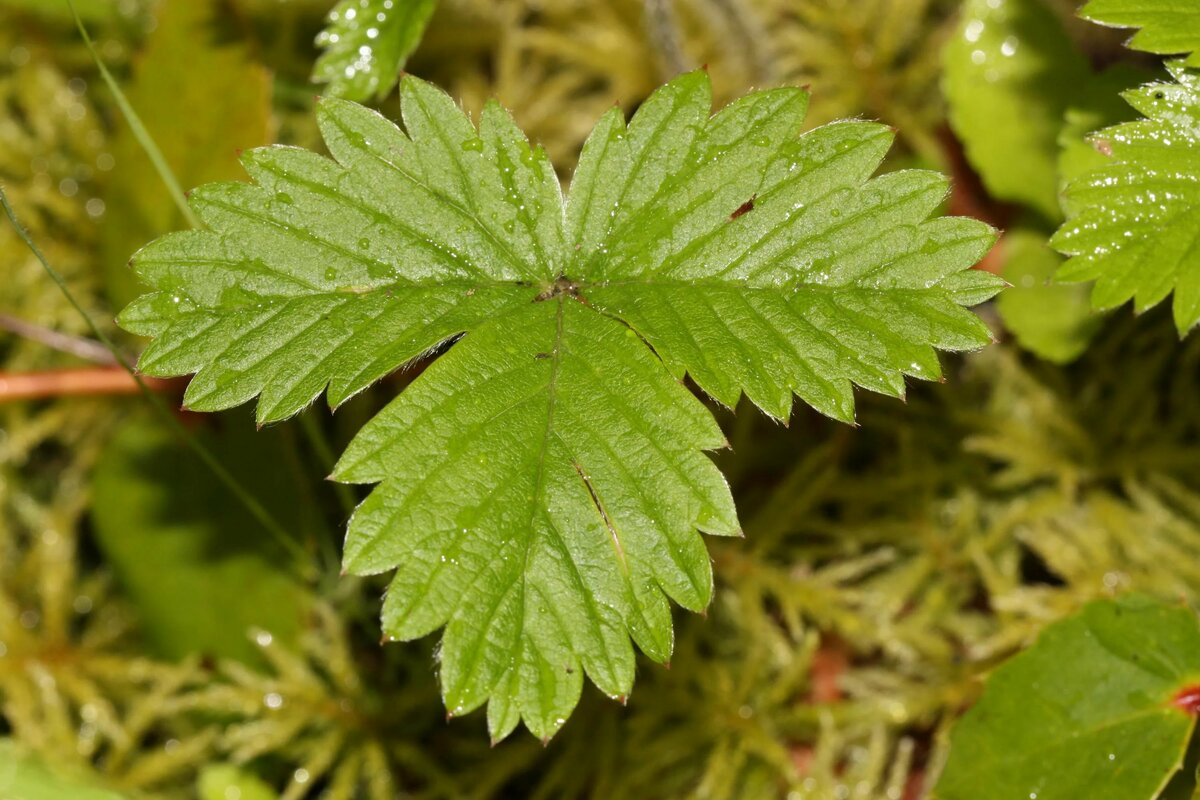 Лечебные свойства листьев земляники, их применение и противопоказания