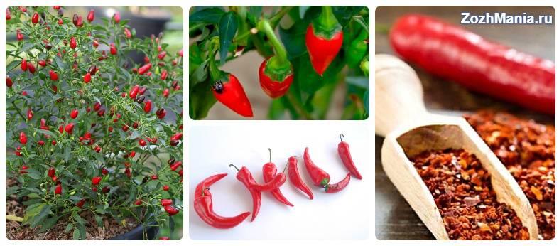 Полезные свойства красного острого перца: как использовать «жгучий» стручок для иммунитета, красоты ипохудения