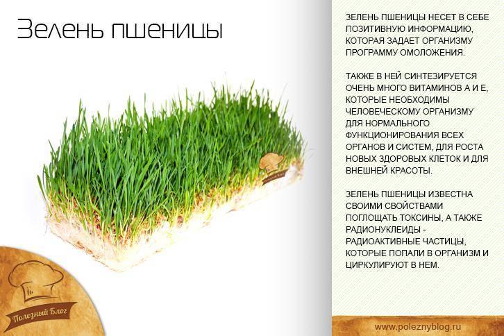 Пророщенная пшеница и ее польза и вред для здоровья человека, советы врачей по нормам и использованию зерен