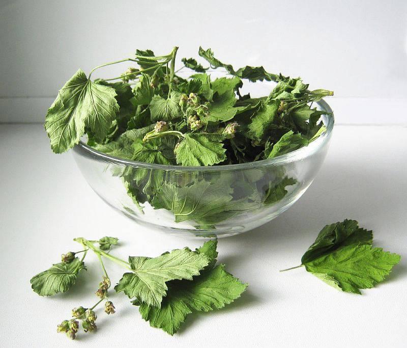 Листья черной смородины: лечебные свойства и противопоказания
