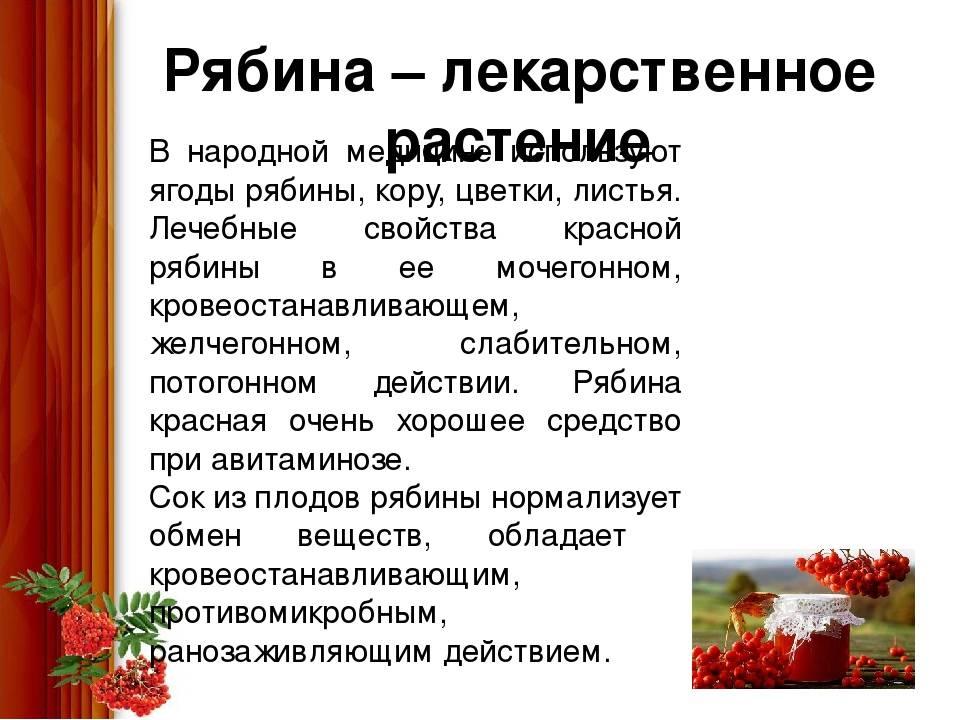 Польза красной рябины для организма человека