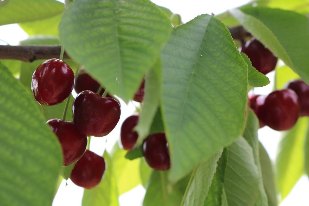 Листья вишни: полезные свойства и противопоказания