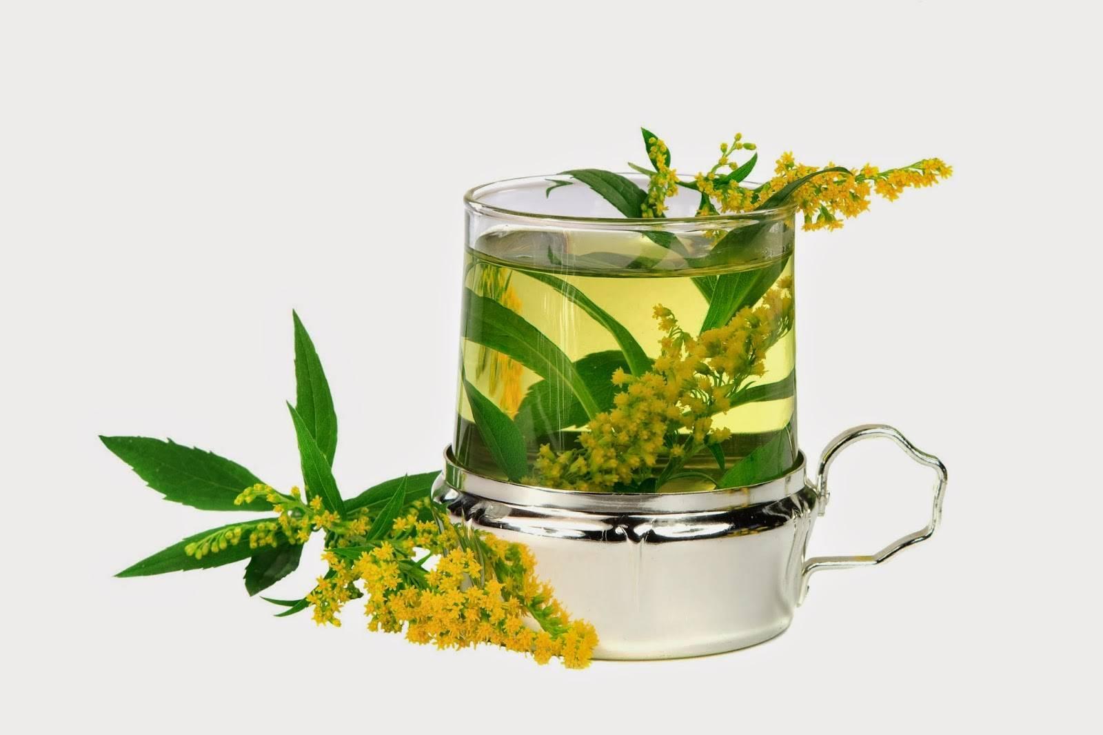 Золотая розга: лечебные свойства, применение, противопоказания