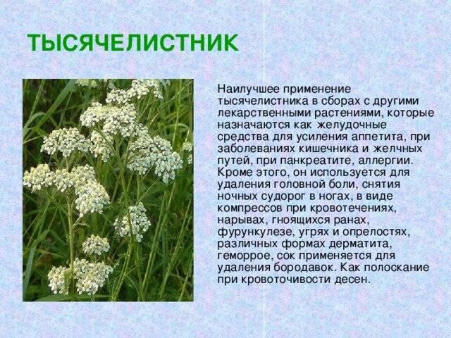 Лечебные свойства и противопоказания травы тысячелистник