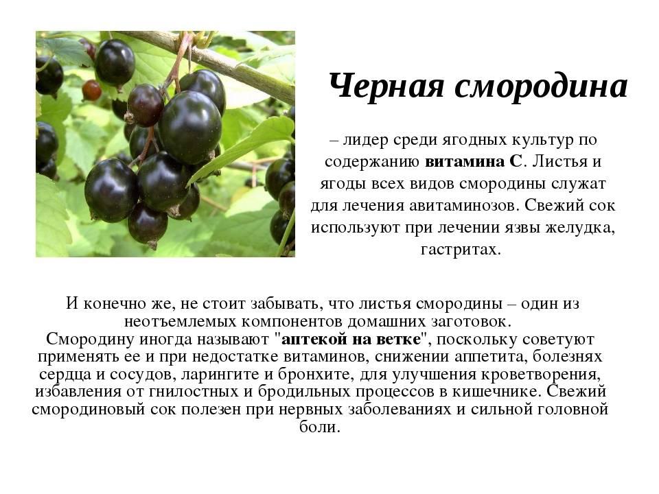 Смородина черная, красная: польза и вред ягод, как правильно есть