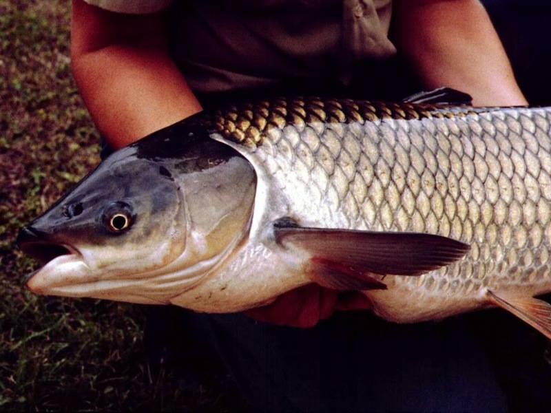 Белый амур вкусный. рыба белый амур: костлявая или нет, вред и польза вкусного мяса