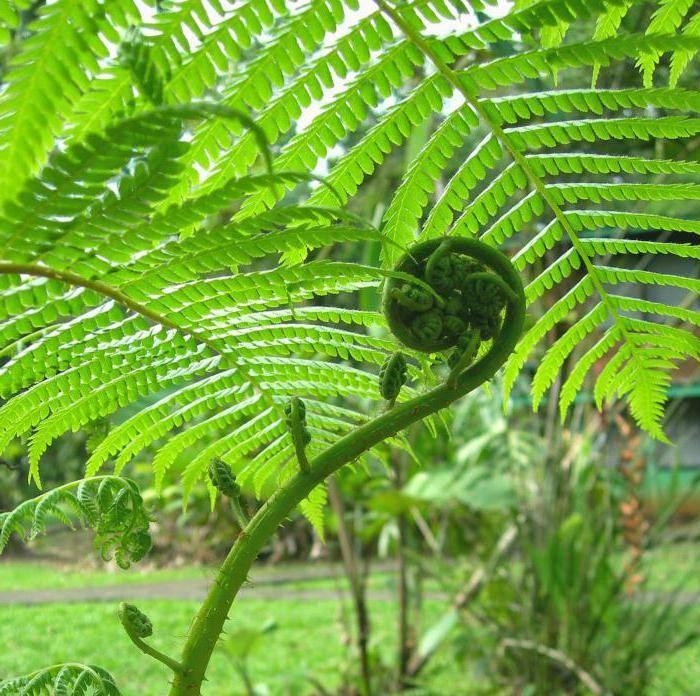 Растение орляк в народной медицине