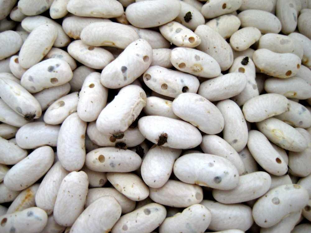 Как правильно хранить фасоль, чтобы не завелись жучки