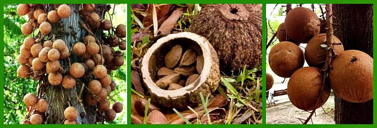 Что такое бразильский орех, на каком дереве растет и как выглядит