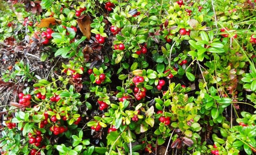 Брусника: полезные свойства и противопоказания ягоды
