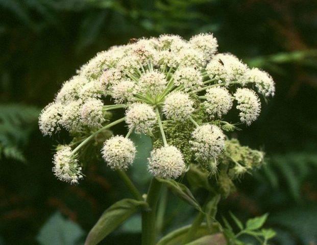 Полезные свойства травы дягиль и противопоказания