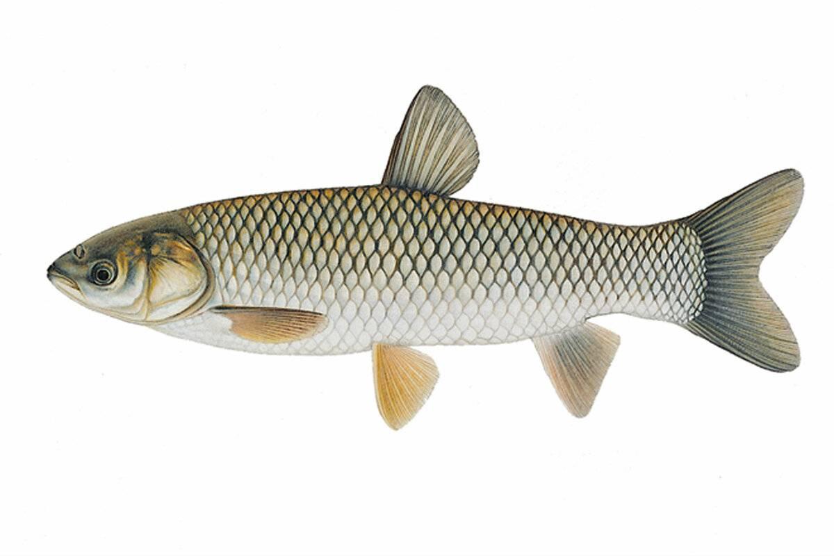 Белый амур – рыба: польза и вред, советы по приготовлению