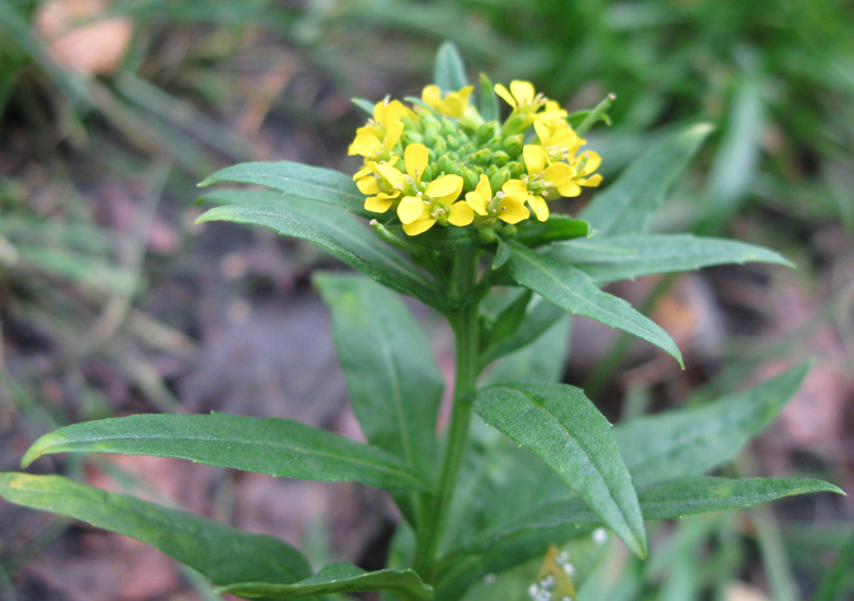 Лечебные свойства «сердечной» травы желтушник, ее влияние на лишний вес и состояние волос