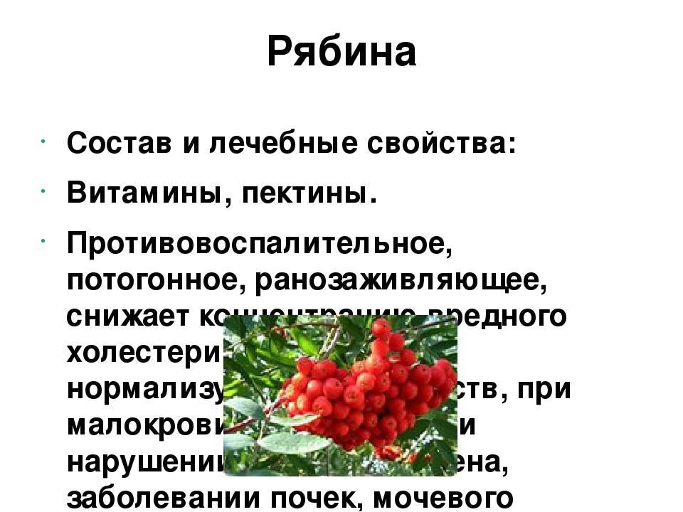 Красная рябина, польза и вред для здоровья человека