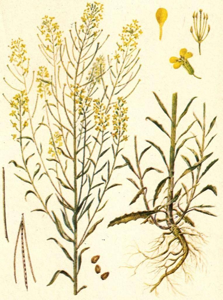 Желтушник раскидистый – лечебные свойства, польза, противопоказания
