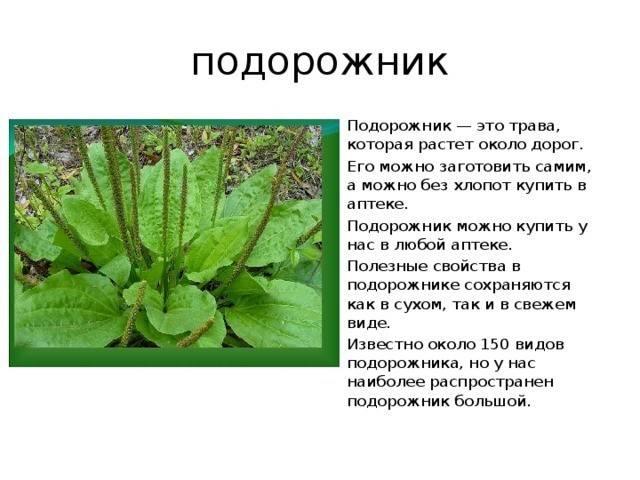 Лечебные свойства и противопоказания листьев подорожника большого