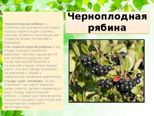 Полезные свойства черноплодной рябины для человека – польза, вред и противопоказания для здоровья
