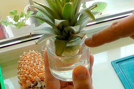 Способы как сохранить ананас свежим до нового года